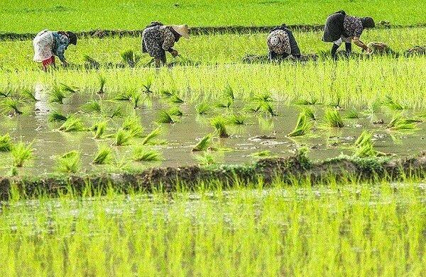 جوان تر شدن میانگین سنی کشاورزان در گرو مالی تر شدن فراوری برنج